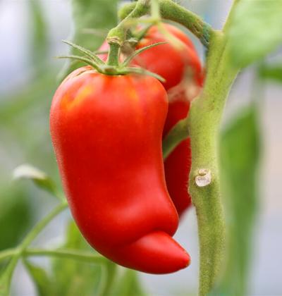 Tomates-des-andes